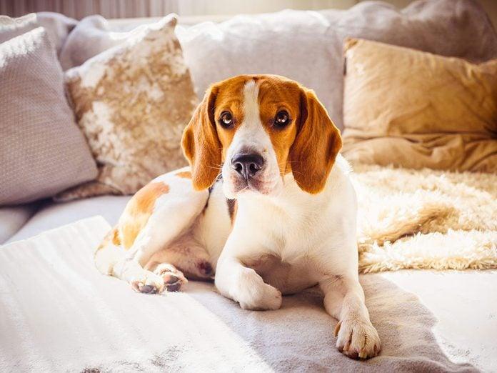 Le Beagle est l'une des races de chien de taille moyenne idéales pour la famille.