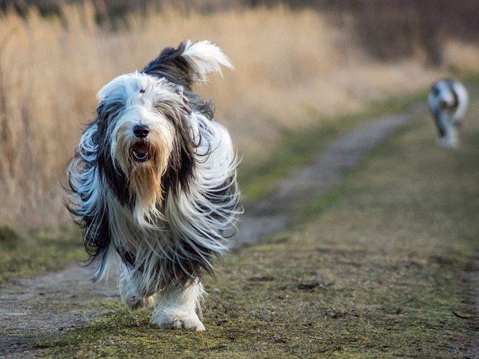 Le Bearded Collie est l'une des races de chien de taille moyenne idéales pour la famille.