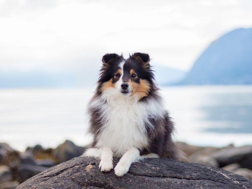 Le Berger des Shetland est l'une des races de chien de taille moyenne idéales pour la famille.