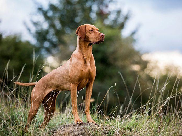 Le Braque hongrois à poil court (vizsla) est l'une des races de chien de taille moyenne idéales pour la famille.