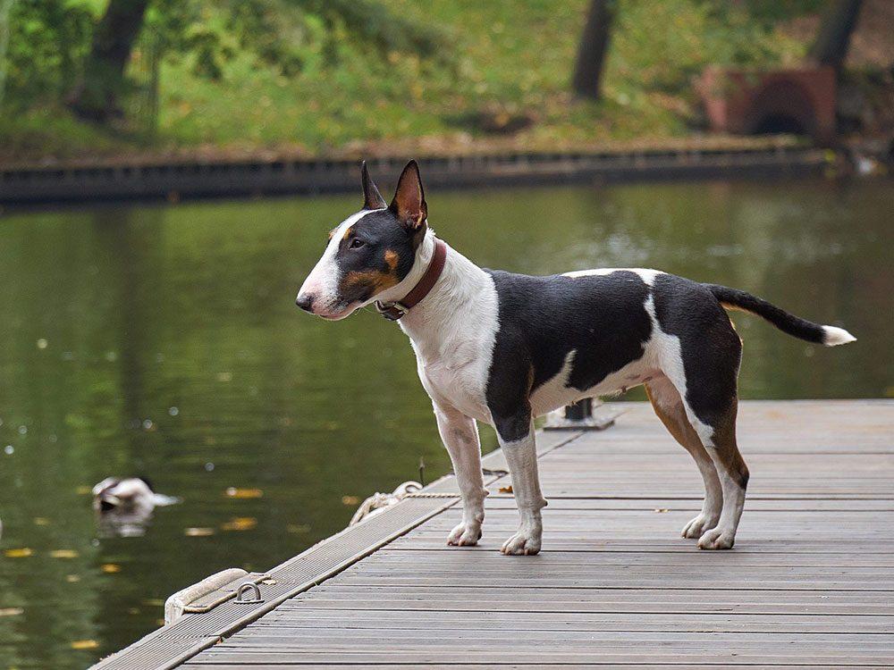 Le Bull terrier est l'une des races de chien de taille moyenne idéales pour la famille.