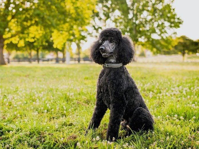 Le Caniche est l'une des races de chien de taille moyenne idéales pour la famille.