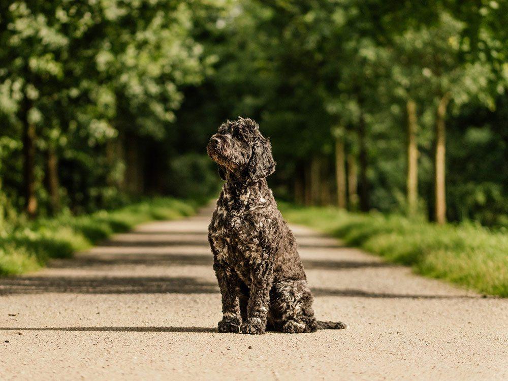 Le Chien d'eau portugais est l'une des races de chien de taille moyenne idéales pour la famille.