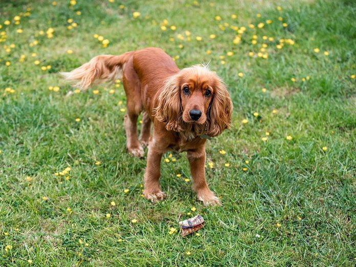 Le Cocker est l'une des races de chien de taille moyenne idéales pour la famille.