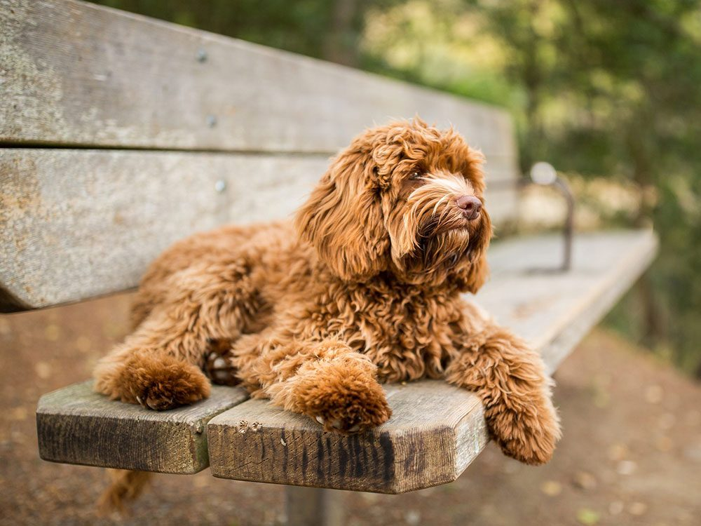 Les chiens croisés Doodle font partie des races de chien de taille moyenne idéales pour la famille.