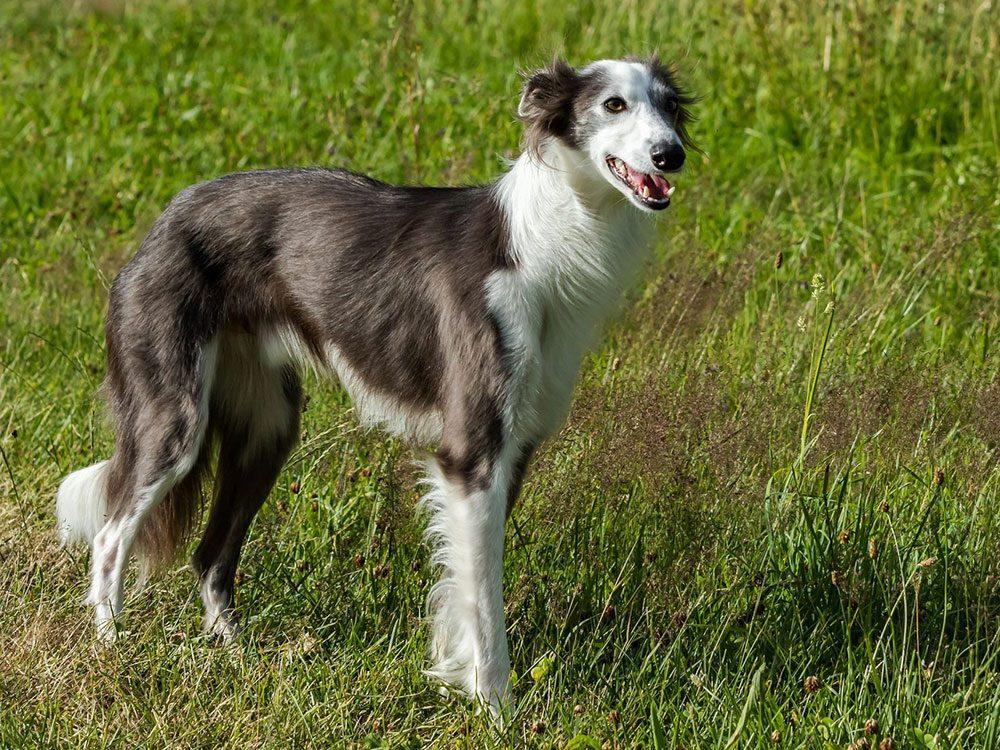 Le lévrier de soie (Silken Windhound) est l'une des races de chien de taille moyenne idéales pour la famille.
