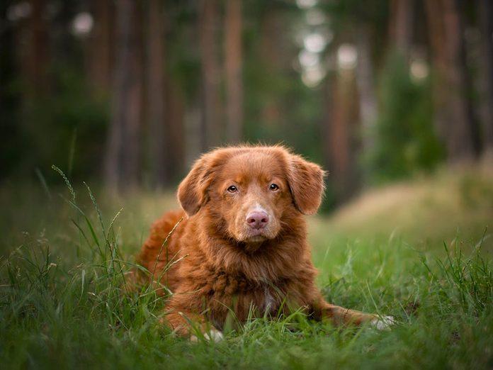 Le Retriever de la Nouvelle-Écosse est l'une des races de chien de taille moyenne idéales pour la famille.