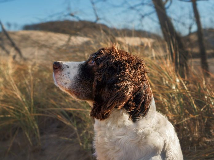 Le Springer Spaniel est l'une des races de chien de taille moyenne idéales pour la famille.