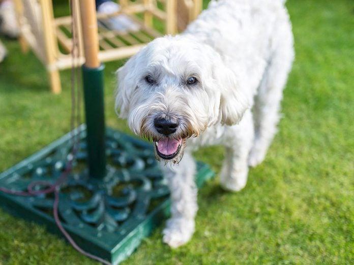 Le Terrier Wheaten à poil doux est l'une des races de chien de taille moyenne idéales pour la famille.