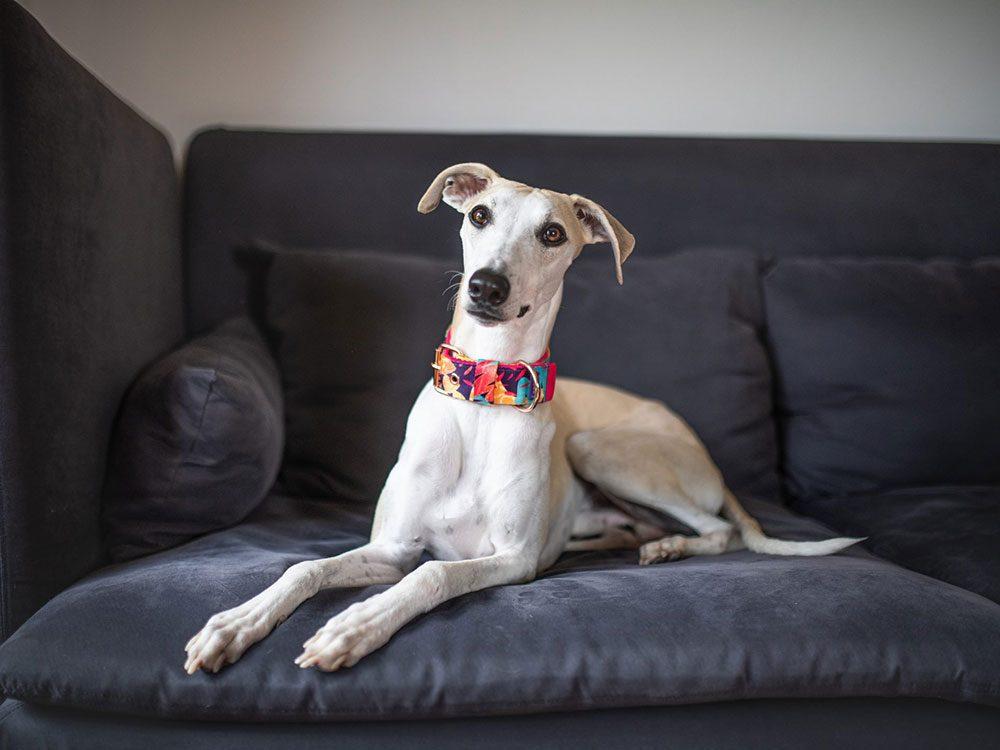 Le Whippet est l'une des races de chien de taille moyenne idéales pour la famille.