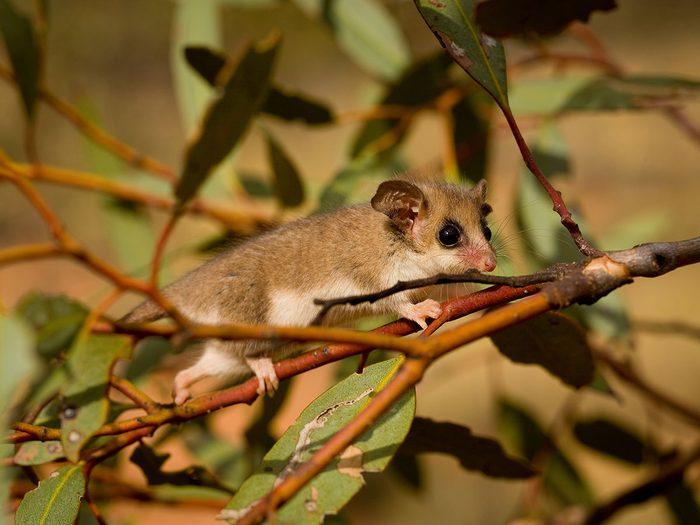 Bonnes nouvelles écologiques en Australie: l'opossum pygmée fait renaître l'espoir.