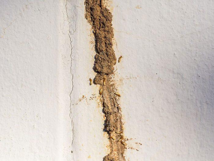 Des tubes de boue le long des fondations signifient que votre maison risque d'être infestée.
