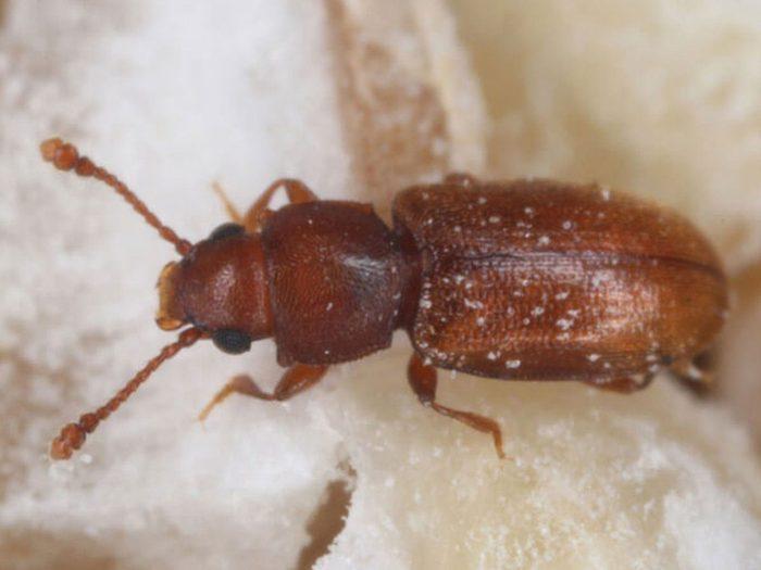 Comment se débarrasser des insectes tels que les cucujides marchands?