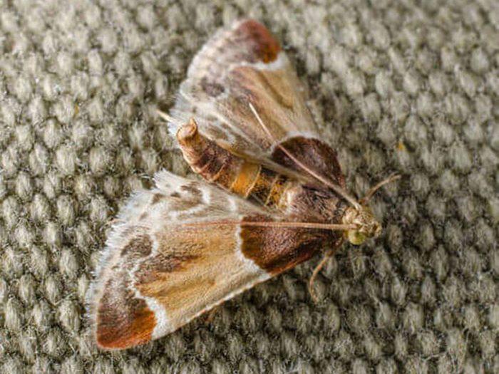 Comment se débarrasser des insectes tels que la pyrale indienne de la farine?