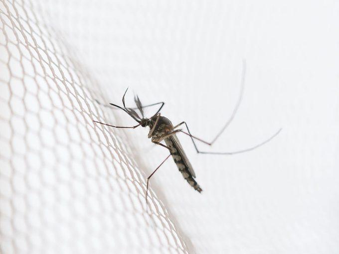 Quelle est la durée de vie d'un moustique?