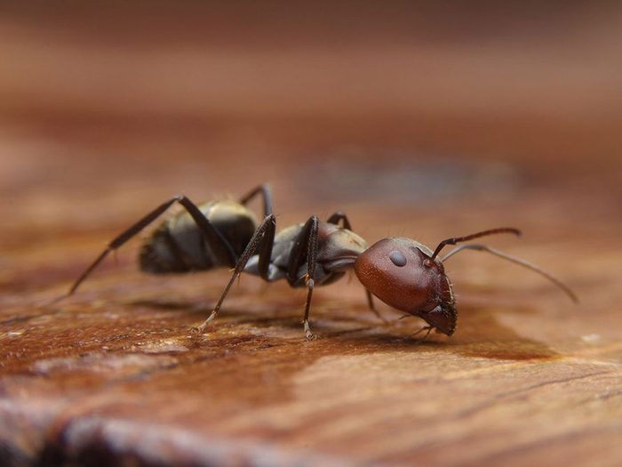 Mélanger les colonies n'éliminera pas votre problème de fourmis.