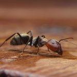 9 mythes sur les fourmis que vous devez cesser de croire