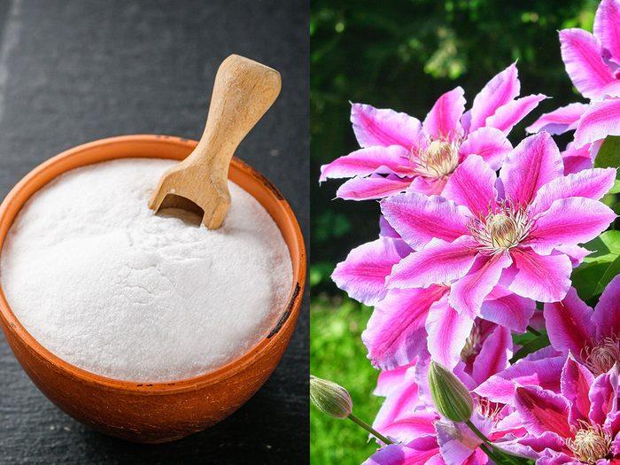 Jardin: favoriser la floraison avec du bicarbonate de soude.