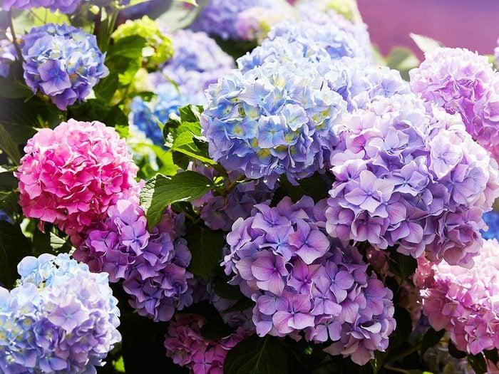 Jardin: transformer des hortensias roses en hortensias bleus avec du vinaigre.