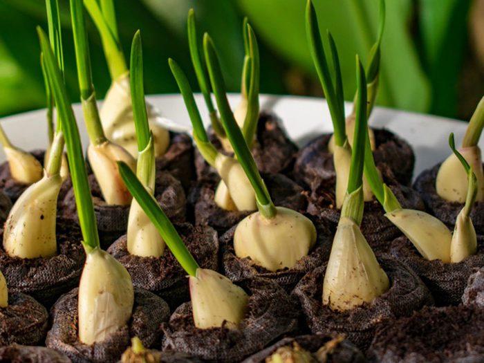 L'ail fait partie des légumes à planter à partir des restes de cuisine.