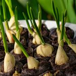 11 légumes à planter… à partir des restes de cuisine