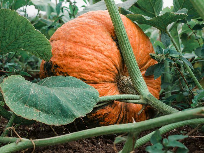 Les citrouilles font partie des légumes à planter à partir des restes de cuisine.