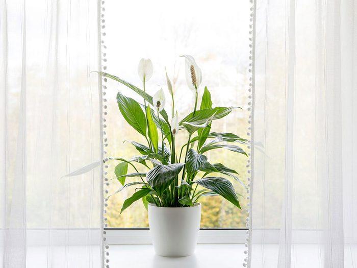 Le lys de la paix fait partie des plantes qui sont toxiques pour les chats.