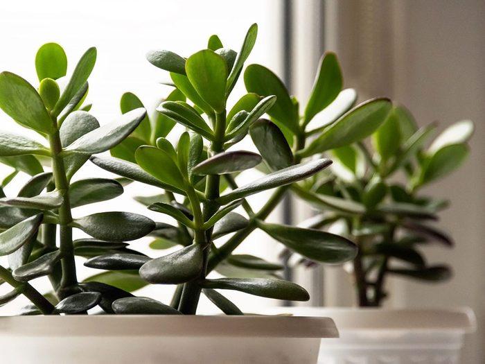 L'arbre de Jade fait partie des plantes qui sont toxiques pour les chats.