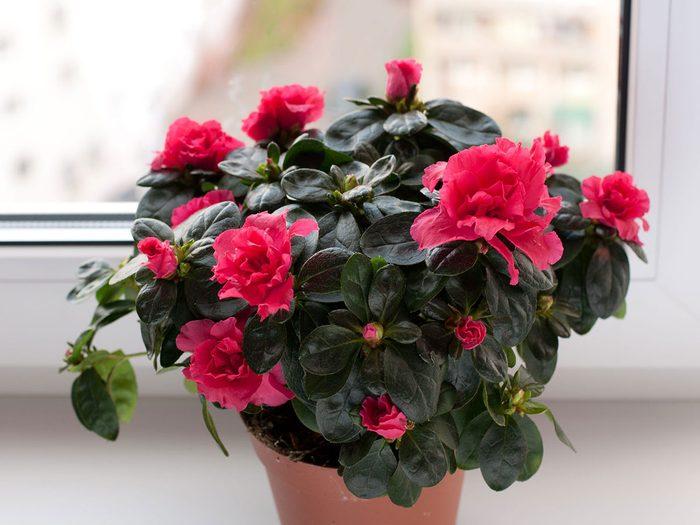 L'azalée fait partie des plantes qui sont toxiques pour les chats.