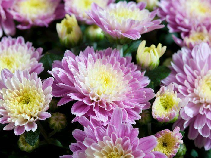 Les chrysanthèmes font partie des plantes qui sont toxiques pour les chats.