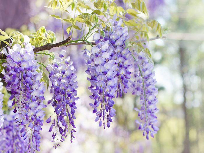 La glycine du Japon fait partie des plantes qui sont toxiques pour les chats.
