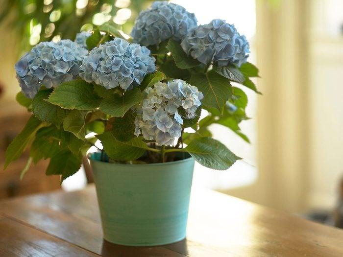 L'hortensia fait partie des plantes qui sont toxiques pour les chats.