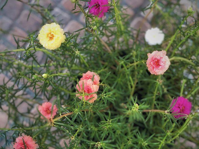 Le pourpier à grandes fleurs fait partie des plantes qui sont toxiques pour les chats.