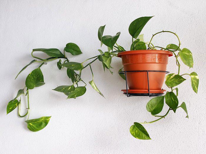 Le scindapsus fait partie des plantes qui sont toxiques pour les chats.