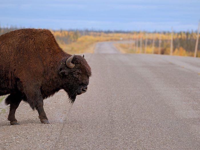 Le bison fait partie des trésors cachés à découvrir au Canada.