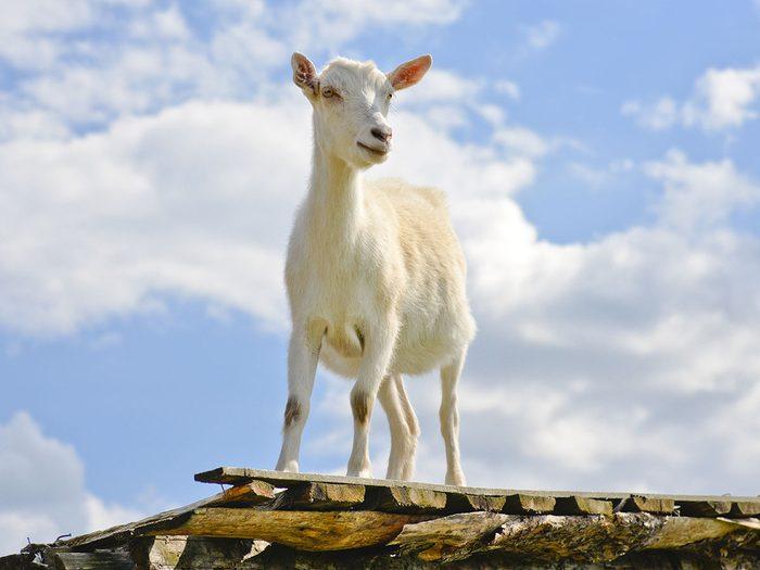 Rencontrer des chèvres de toit fait partie des trésors cachés à découvrir au Canada.