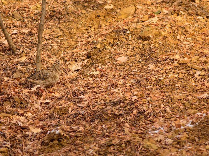 Animaux cachés: une bécasse des bois se trouve sur cette photo, pourrez-vous le trouver?