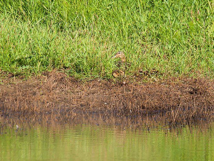 Animaux cachés: un canard colvert se trouve sur cette photo, pourrez-vous le trouver?