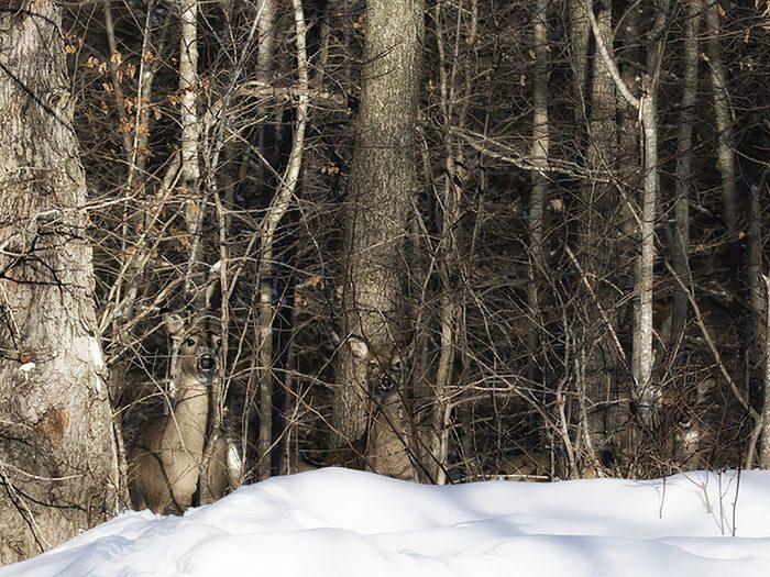 Animaux cachés: trois cerfs se trouvent sur cette photo, pourrez-vous les trouver?