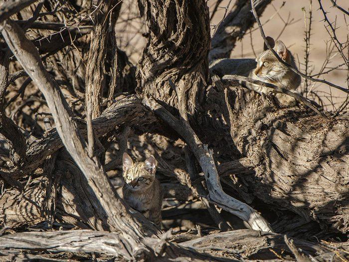 Animaux cachés: deux chats sauvages d'Afrique se trouvent sur cette photo, pourrez-vous les trouver?
