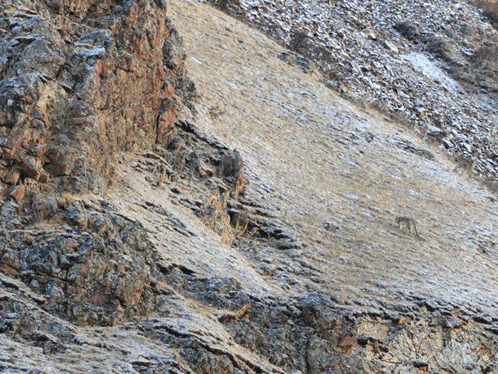 Animaux cachés: un léopard des neiges se trouve sur cette photo, pourrez-vous le trouver?