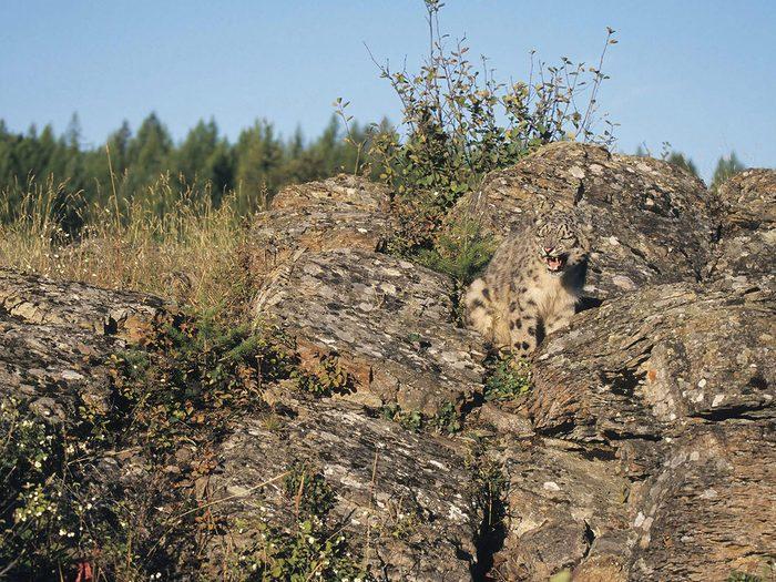Animaux cachés: un léopard des neiges se trouve parmi les rochers sur cette photo, pourrez-vous le trouver?