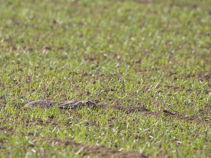 Animaux cachés: un lièvre d'Europe se trouve sur cette photo, pourrez-vous le trouver?