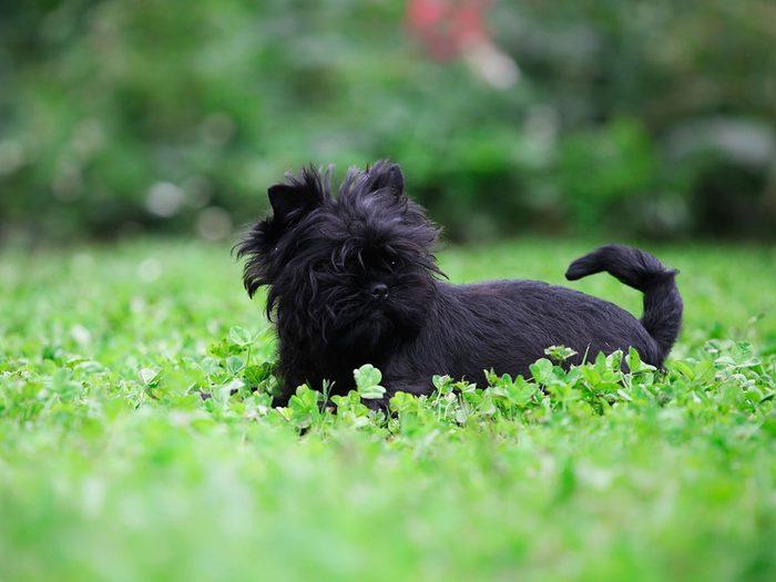L'affenpinscher fait partie des races de chiens qui ne perdent pas de poils.