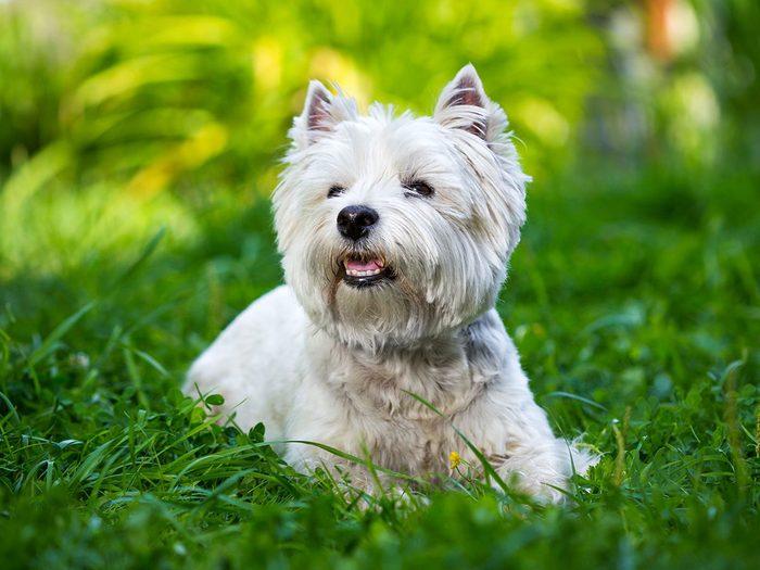 Le west highland terrier ou Westie fait partie des races de chiens qui ne perdent pas de poils.