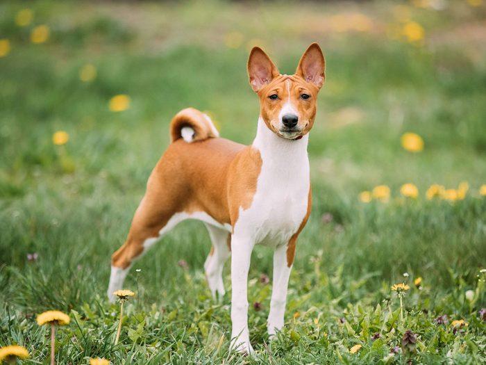 Le Basenji fait partie des races de chiens qui ne perdent pas de poils.
