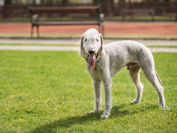 Le bedlington terrier fait partie des races de chiens qui ne perdent pas de poils.