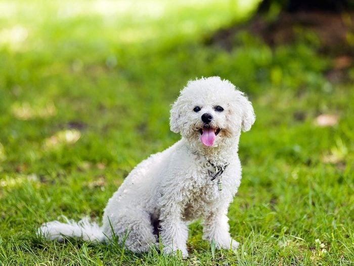 Le bichon frisé fait partie des races de chiens qui ne perdent pas de poils.