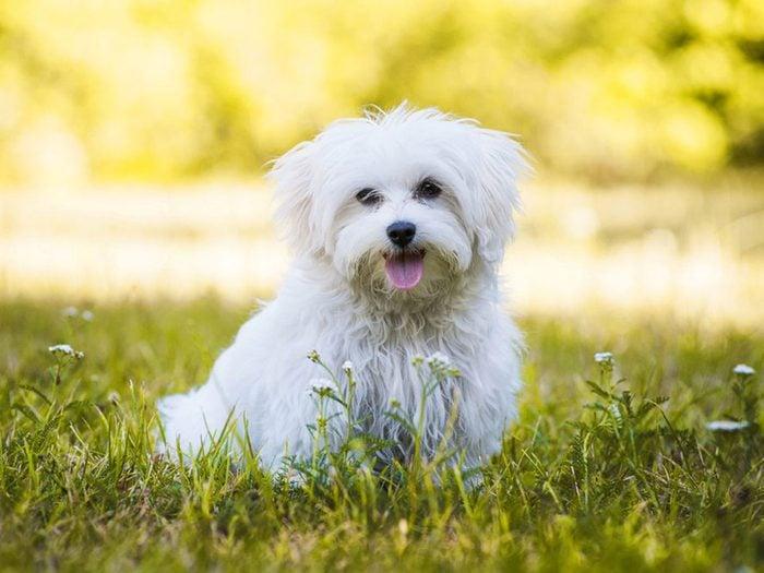 Le bichon maltais fait partie des races de chiens qui ne perdent pas de poils.