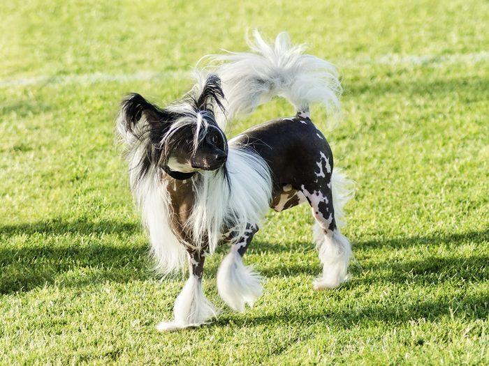 Le chien chinois à crête à peau nue fait partie des races de chiens qui ne perdent pas de poils.